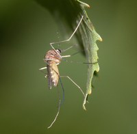Komár pisklavý - Culex pipiens