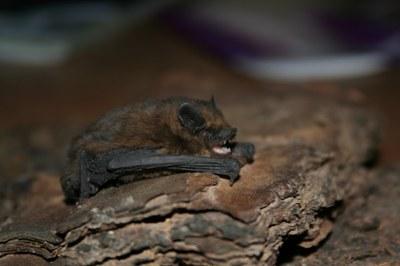 Pipistrellus nathusii