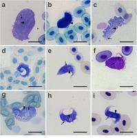 "Žabí trypanosomy pozorované v práci Spodareva et al. (2018): a-b Trypanosoma loricatum, c-d T. rotatorium, e-f T. ranarum, g Trypanosoma sp. ""nautilus"", h-i Trypanosoma sp. ""ring"". Trojúhelníček označuje jádro, šipka pak  kinetoplast, měřítko 20 μm. Podle Spodareva et al. (2018)."