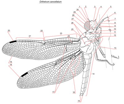 Vážka - schéma