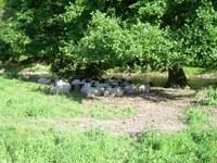Pastevectví je jednou z možností, jak omezit šíření netýkavky žláznaté. Foto: Jan Čuda.