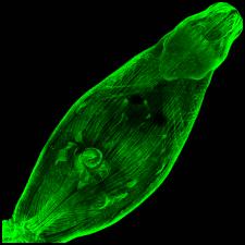 Trichobilharzia regenti