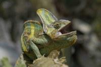 Chameleon jemenský, zdroj: web ZOO Plzeň
