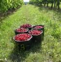Migračně-zemědělská exkurze ve firmě Ekofrukt Slaný: osvěžující sběr třešní a diskuse nejen o nedostatku pracovníků