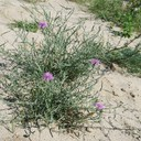 Lecture Colonization success of polyploids: insights from the cytotype shift in Centaurea stoebe s.l.